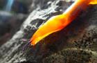 Plžík žlutý (Malacolimax tennelus) na slunci krásně  září. Můžeme ho často najít třeba na plodnicích hub.