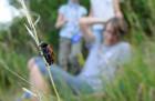 Brouk vrbař čtyřskvrný (Clytra quadripuncatata) a naši kroužkaři.